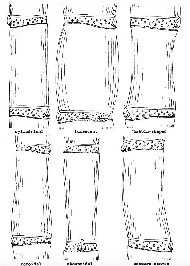 Internode Shape Descriptions