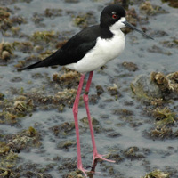 Hawaiian stilt, aʻeo, endangered