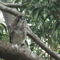 Hawaiian hawk, iʻo