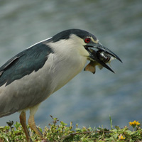 black crowned night heron, aukuu