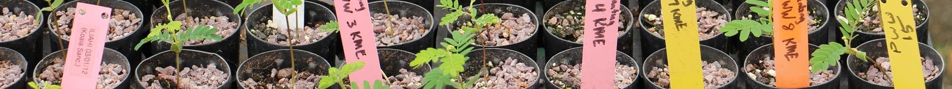 Koa (Acacia koa) seedlings from different environments being raised for an experiment.