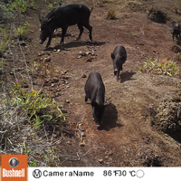 Feral pigs are managed both as game resources and as an invasive species that heavily impacts native plants and animals.
