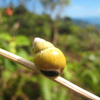 Endemic Hawaiian snail