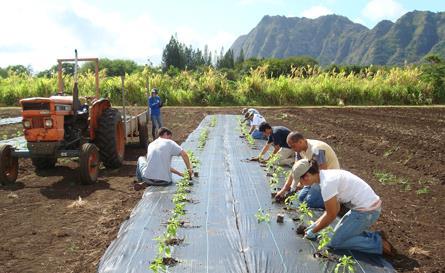 Planting Basil at Waimanalo