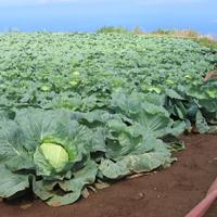 Cabbage growing on Maui farm. Photo: J. Deenik