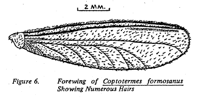 Fig 6 Forewing of Coptotermes formosanus showing numerous hairs.