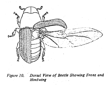 Fig 10. Dorsal view of beetle showing front and hindwing.