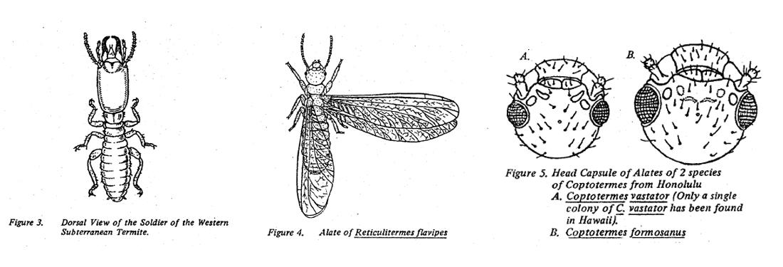 Fig 3 Dorsal view of soldier western subterranean termite. Fig 4 Alate of Reticulitermes flavipes, Fig 5 head capsule of 2 species Coptotermes