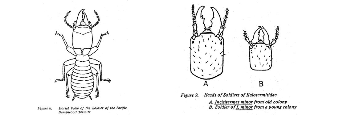 Fig 8. Dorsal view of soldier of Pacific Dampwood termite. Fig 9 Heads of soldiers of Kalotermitidae.