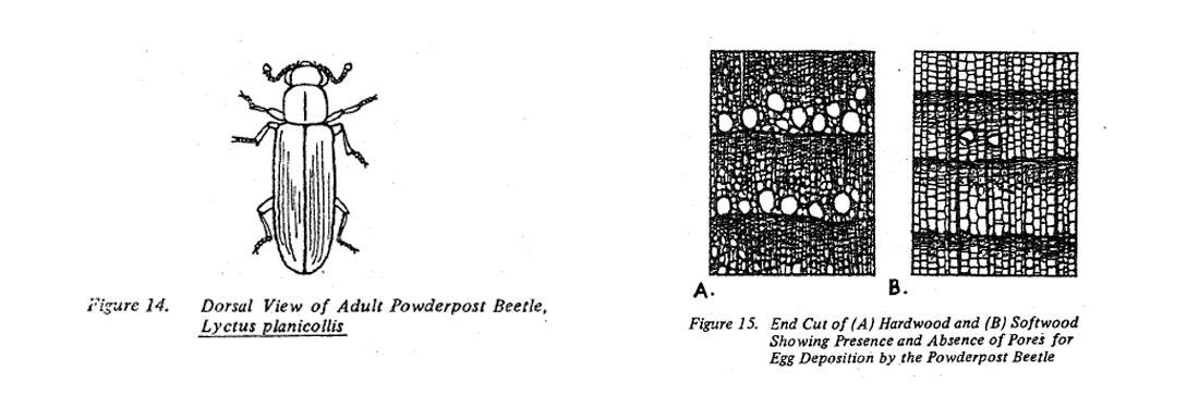 Fig 14. Dorsal view of adult powderpost beetle, Lyctus planicollis. Fig 15. End Cut of hardwood and softwood showing presence and absence of pores for egg deposition by the powderpost beetle.