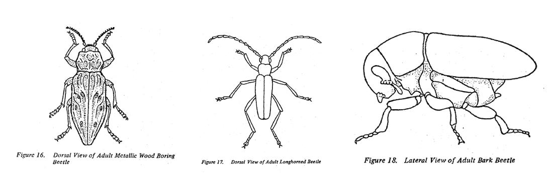 Fig 16-18. Adult metallic wood boring beetle, adult longhorned beetle, adult bark beetle.
