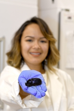 PEPS grad student with coconut rhinocerus beetle.