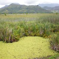Invasive weeds at Kawainui Marsh.