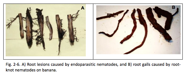 Fig2-6 Root lesions caused by endoparasitic nematodes and root galls caued by root-knot nematodes on banana.
