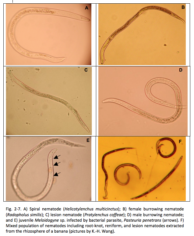 Fig. 2-7. A) Spiral nematode (Helicotylenchus multicinctus); B) female burrowing nematode (Radopholus similis); C) lesion nematode (Pratylenchus coffeae); D) male burrowing nematode; and E) juvenile Meloidogyne sp. infected by bacterial parasite, Pasteuria penetrans (arrows). F) Mixed population of nematodes including root-knot, reniform, and lesion nematodes extracted from the rhizosphere of a banana (pictures by K.-H. Wang).
