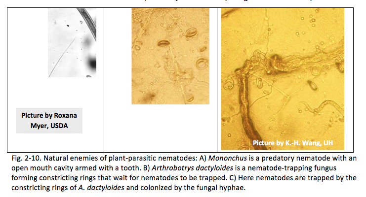 Fig. 2-10. Natural enemies of plant-parasitic nematodes: A) Mononchus is a predatory nematode with an open mouth cavity armed with a tooth. B) Arthrobotrys dactyloides is a nematode-trapping fungus forming constricting rings that wait for nematodes to be trapped. C) Here nematodes are trapped by the constricting rings of A. dactyloides and colonized by the fungal hyphae