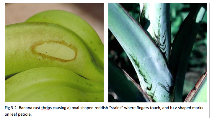 Chapter III | Other Pests and Pathogens of Banana