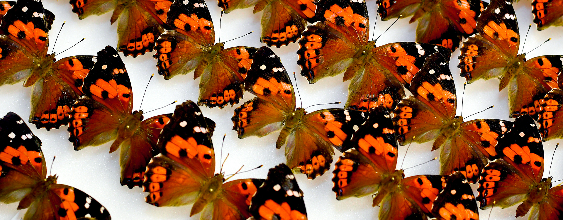 Kamehameha butterflies angle