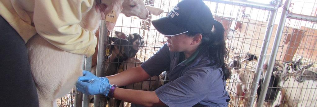 Examining a Goat Kid