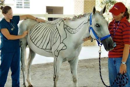 White horse with bone anatomy drawn on it.