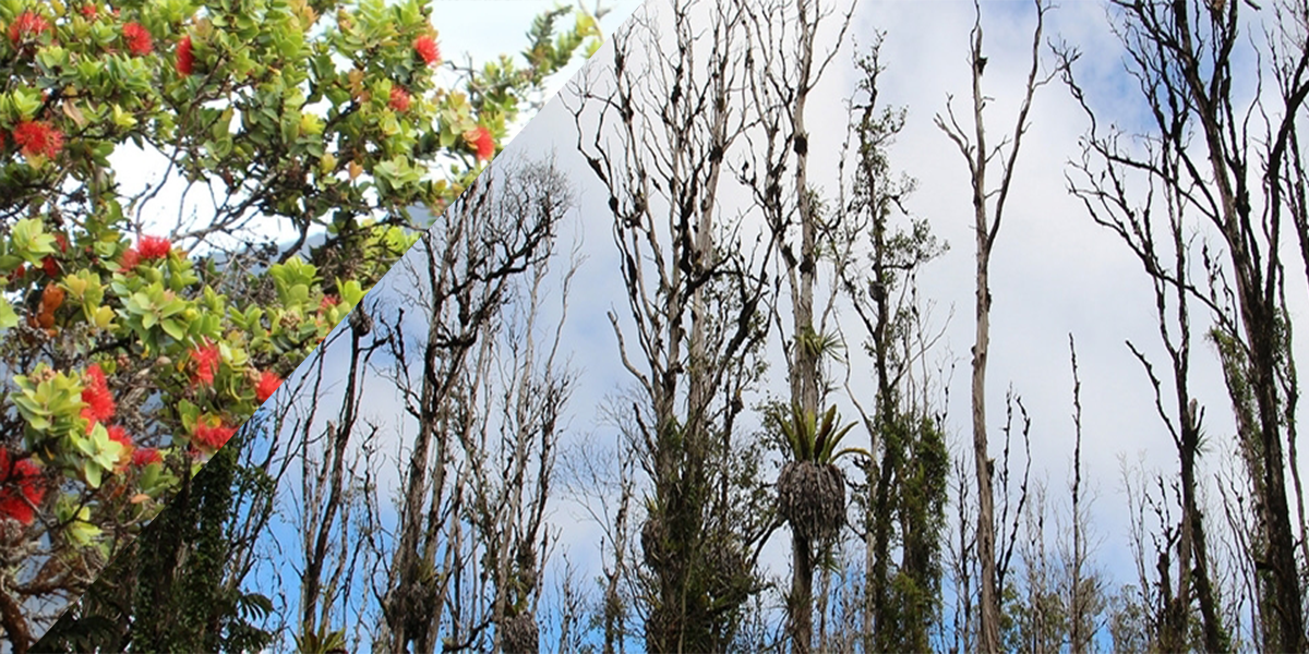 Healthy Ohia trees with red flowers next to infected Ohia trees with serious crown reduction.