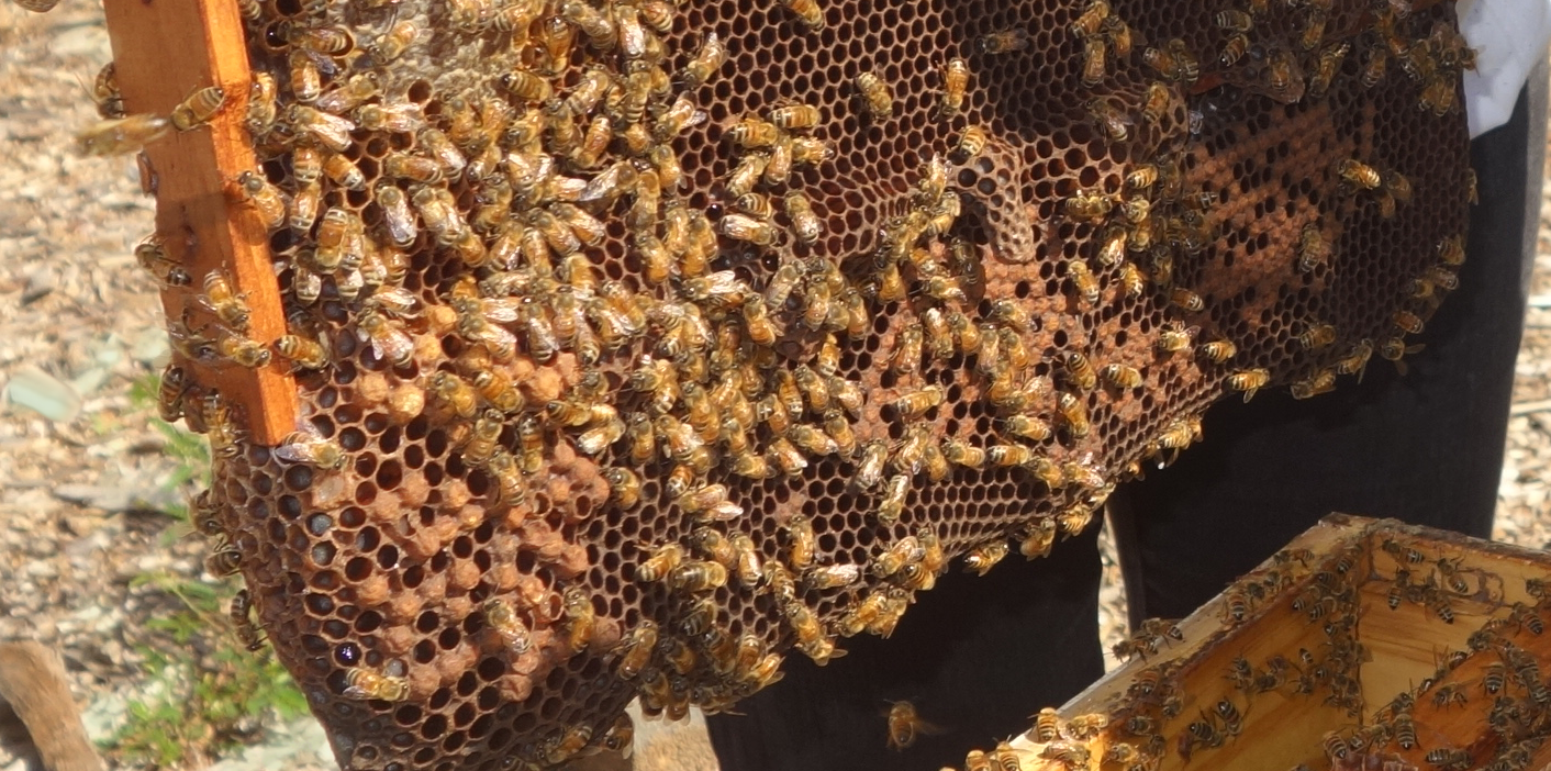 Honey bees on a bee hive frame.