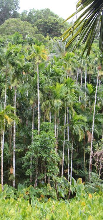 Areca catechu betel nut agroforest