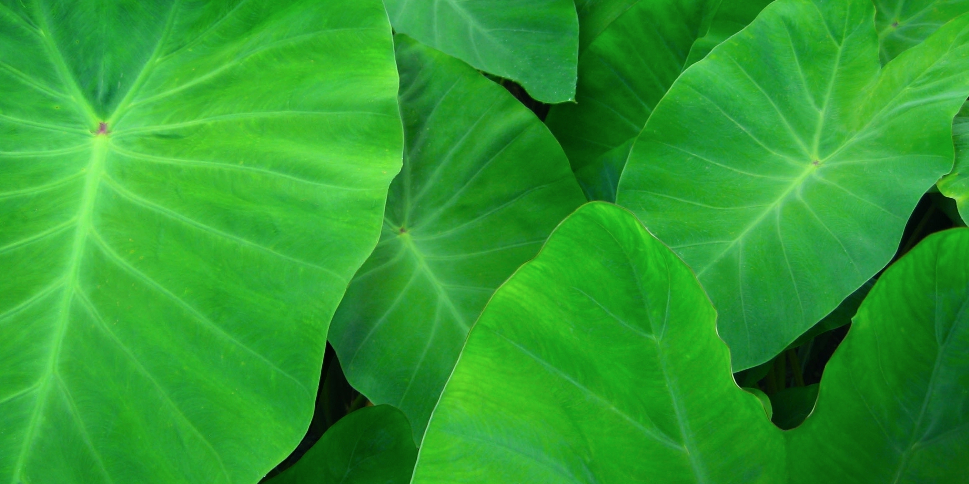 Green Taro (Colocasia esculenta), leaves.