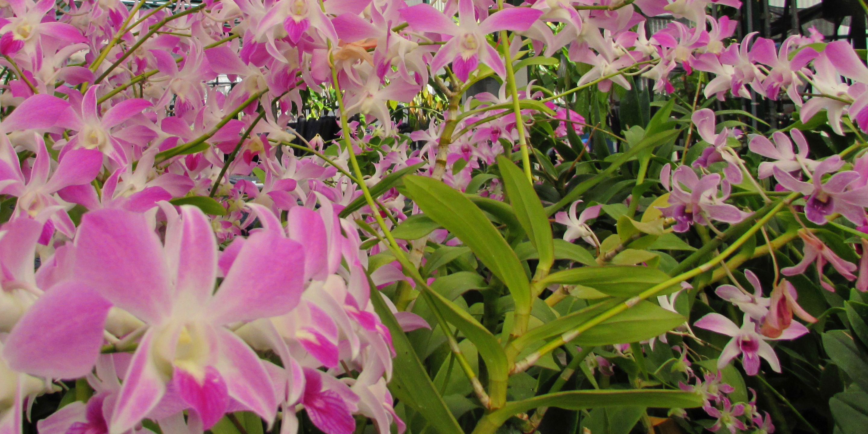 Pink Dendrobium orchids.