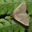 Koa moth. Photo: K. Magnacca