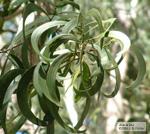 Acacia koa, koa leaves phyllodes