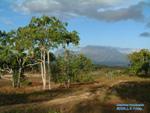 Aleurites moluccana in Timor