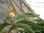 Acacia koaia leaf and flower