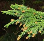 Cryptomeria japonica, sugi pine, male cone