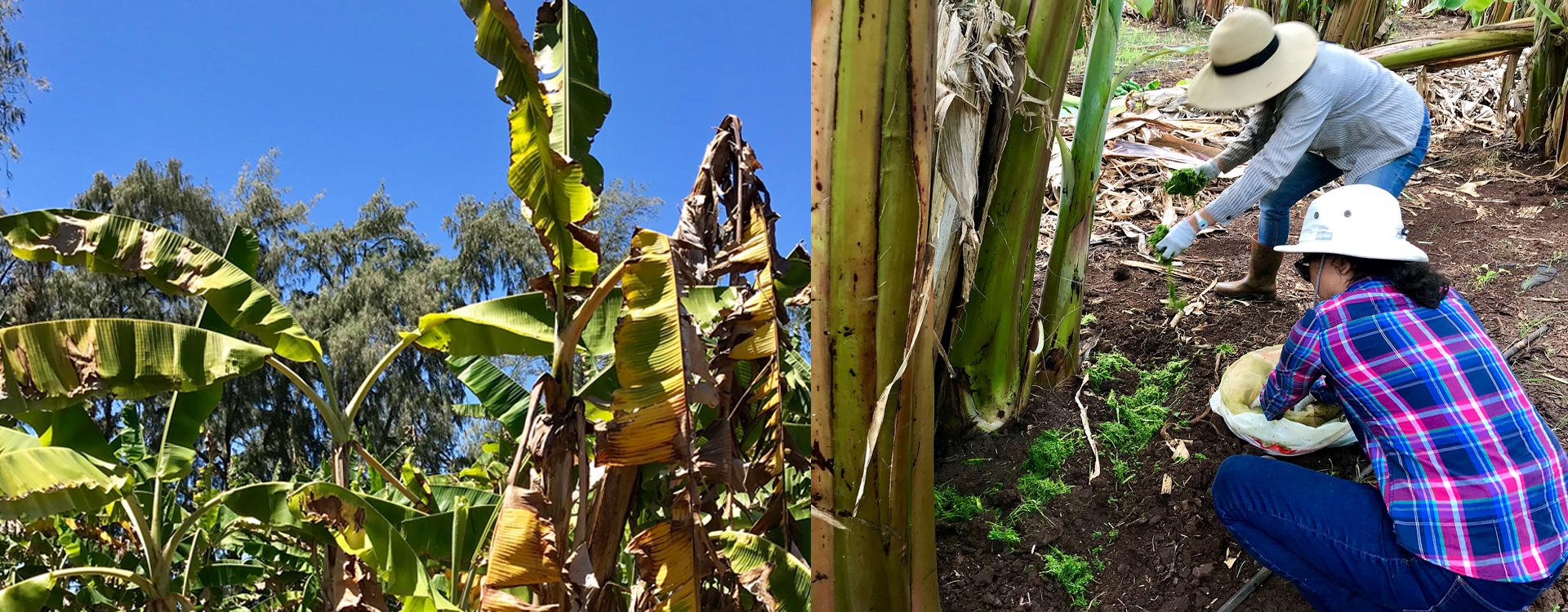 Protecting Specialty Bananas (Sustainable Pest Management Lab)