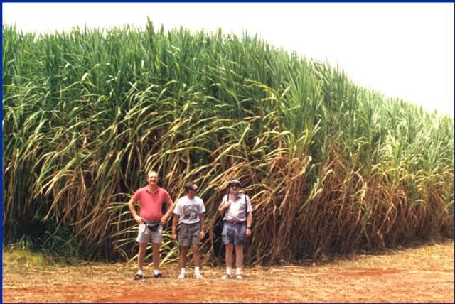 C4 Grasses