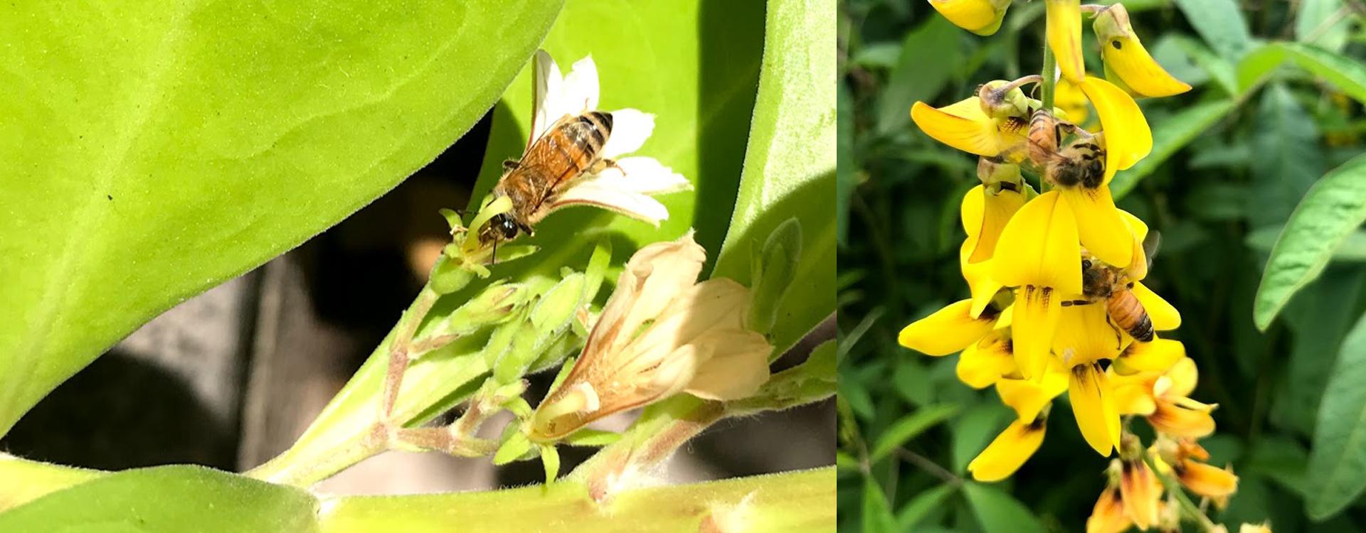 Crucial Pollinators