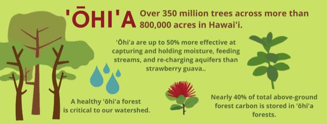 Benefits of Ohia