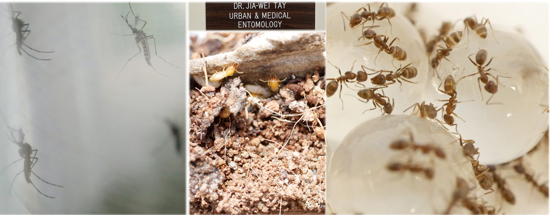Invasive Urban Insects