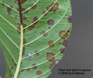 Algal leafspot on guava